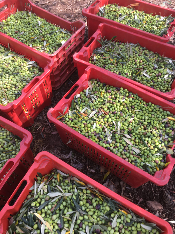 Olives Ready to be Pressed
