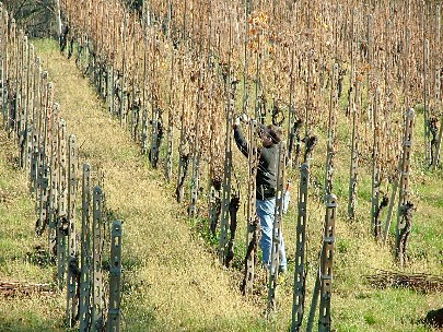Massimo working in his Lessona vineyards.