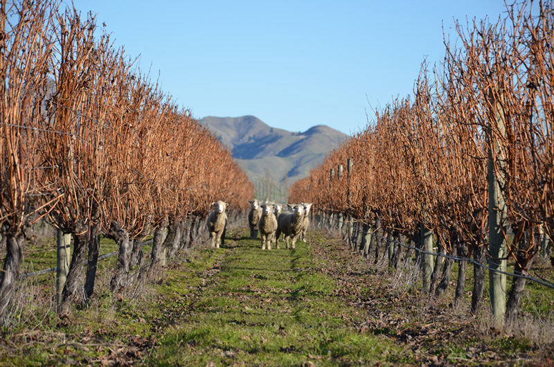 Sheep in the Vineyards in Marlborough