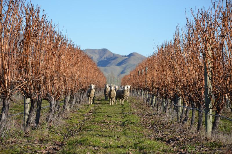 Sheep in the Vineyards in Marlborough
