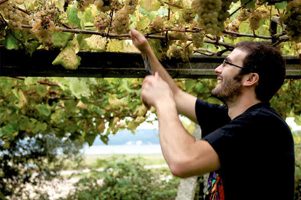 Xurxo Alba harvesting Albariño. Notice how close to the Atlantic the vines are.
